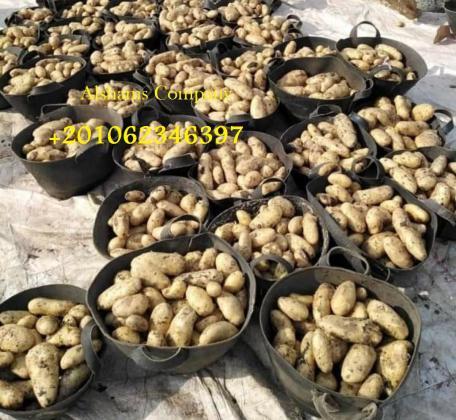 البطاطس الطازجه