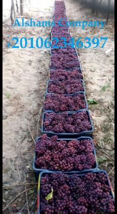 العنب الطازج